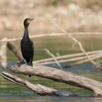 Cormoran vigua